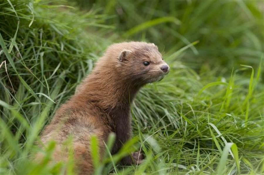 水貂就是鼬,也叫黃鼠狼,是一種小型食肉目動物。(圖/shutterstock)