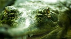 巨形食人鱷現蹤 三百人慘遭生吞活剝