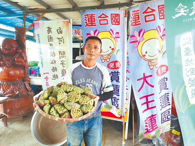 台南市白河區青農吳正雄家的蓮子已開始採收,今年因為氣候關係,許多蓮蓬有7成都是空包彈。(劉秀芬攝)