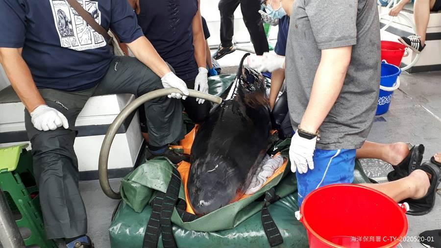 小抹香鯨在船上,工作人員幫牠澆水補充水分。(海保署 提供)
