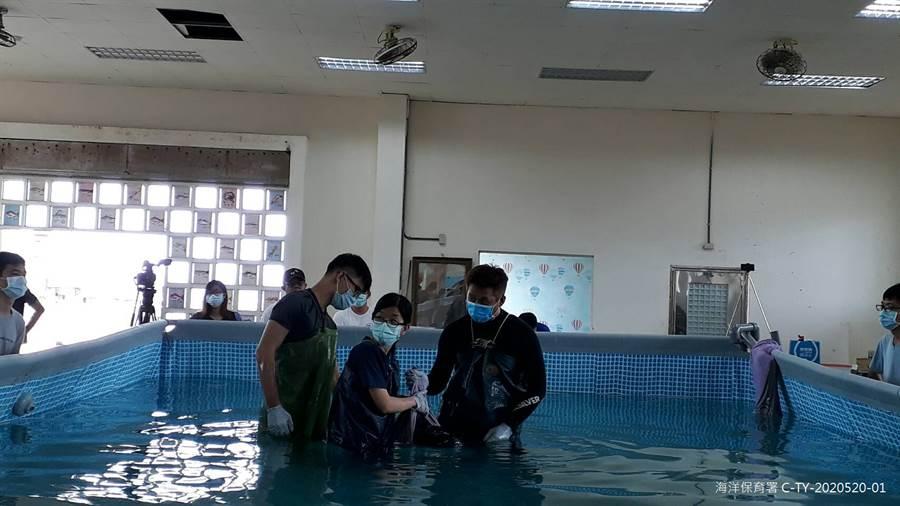 小抹香鯨野放前由志工們協助保定。(海保署 提供)