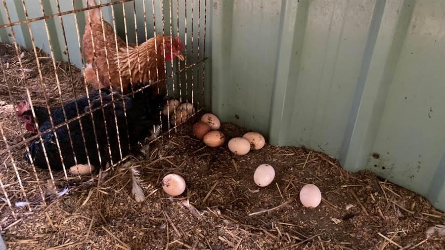 南投德安啟智教養院向頂新和德文教基金會「食公益捐助計畫」爭取補助,成功添購80隻蛋雞。(頂新和德基金會提供)