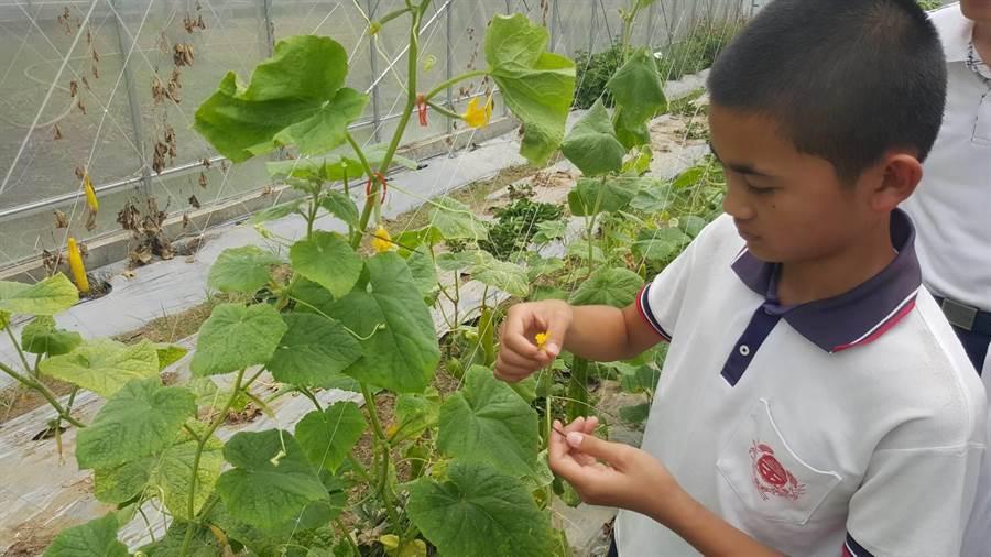 台南市官田國小學童在食農老師鄭興陸指導下,花了4個月時間研究數種小黃瓜品種,培育新的「官甜1號」小黃瓜,希望12月就可以大規模種植及量產。(劉秀芬攝)