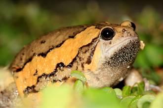 雨炸台南「肥大怪蛙」現蹤 連蛇都不敢吃牠