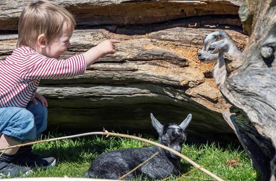 丹麥國會昨天達成協議,動物園和博物館等設施,今天起恢復對外開放。在南日蘭德的布拉凡德動物園(Blavand Zoo),小朋友開心和動物合影。(路透)