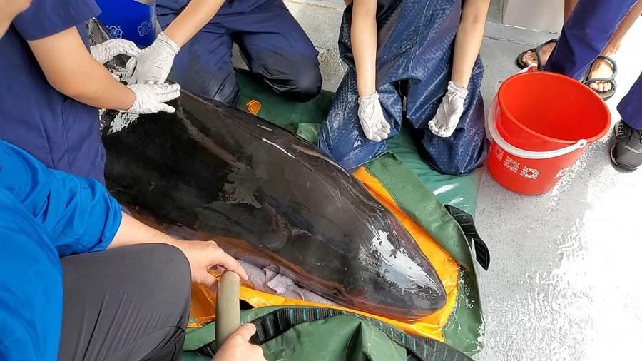 擱淺抹香鯨「小抹茶」20日晚間送基隆救援成功,團隊商議後於21日上午野放回歸大海。(吳康瑋攝)