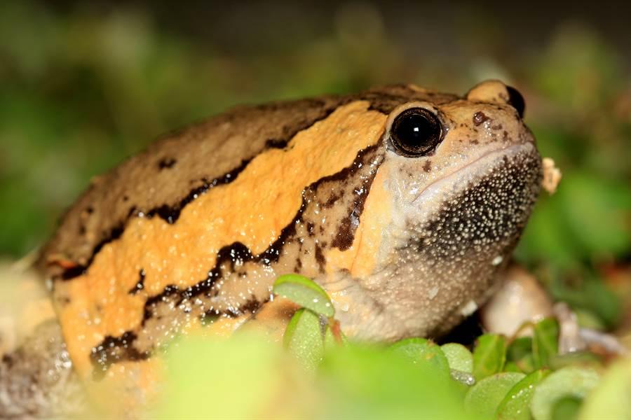 雨炸台南「肥大怪蛙」現蹤 連蛇都不敢吃牠(示意圖/達志影像)