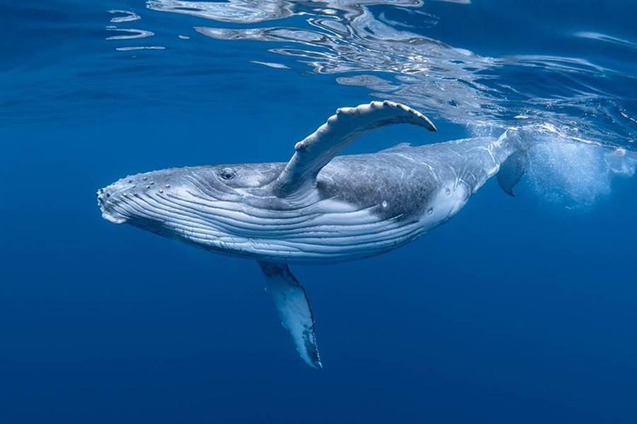 《異聞23錄》鯨魚頭頂噴的不是海水?一堆人搞錯了(圖/達志影像)