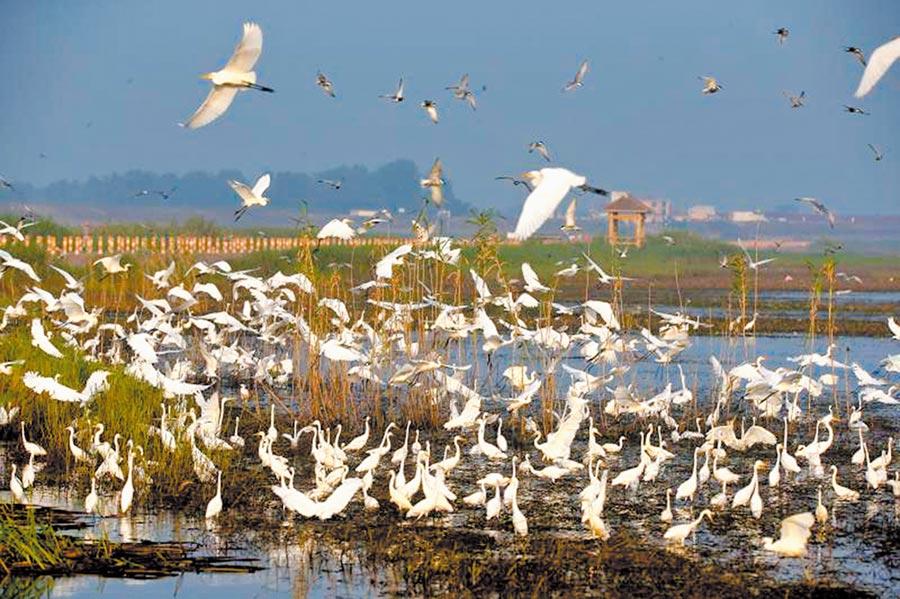 鄱陽湖夏候鳥群飛的壯觀場景。(圖:許南平)
