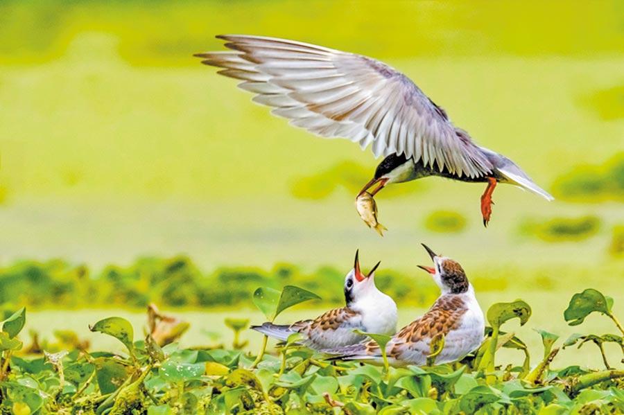 鄱陽湖的夏候鳥。(圖:許南平)