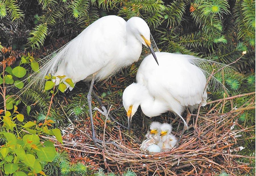 白鷺和白鷺寶寶在一起。(圖:許南平)