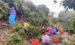 強降雨來襲 高雄農業局籲請注意疫病防治