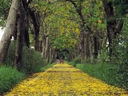 豪雨影響 朴子溪自行車道搖身一變成「黃金地毯」