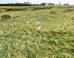 豪雨致屏東農作災損近900萬元 一期稻作受創最重