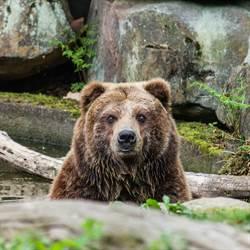 醉漢闖動物園落水 母熊救人反遭鎖喉壓頭30秒險死