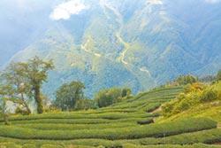 竹縣推茶園復耕 扶植特色產業