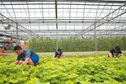 嘉大實習溫室蔬果 標榜零農藥