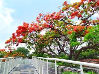 緋紅鳳凰花季 來彰化拍美照拿好禮