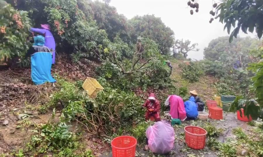 擔心梅雨季造成農損,農民冒雨搶收玉荷包。(高雄市農業局提供/林瑞益高雄傳真)