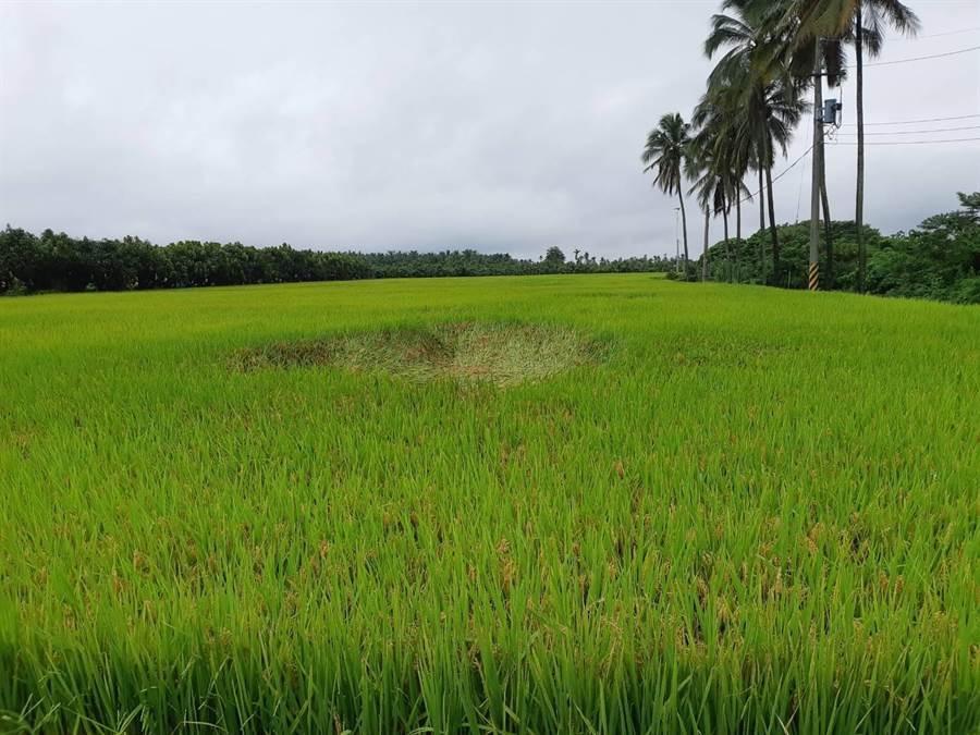 強降雨造成水稻農損。(高雄市農業局提供/林瑞益高雄傳真)