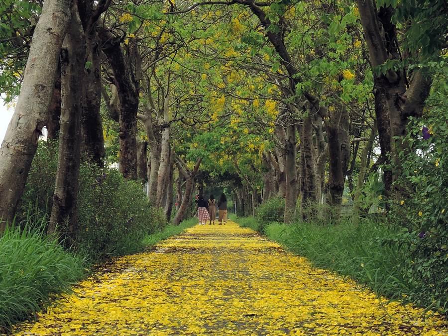 受到連日豪雨影響,不少花瓣都被打落,形成一條絕美的「黃金地毯」。(張毓翎攝)