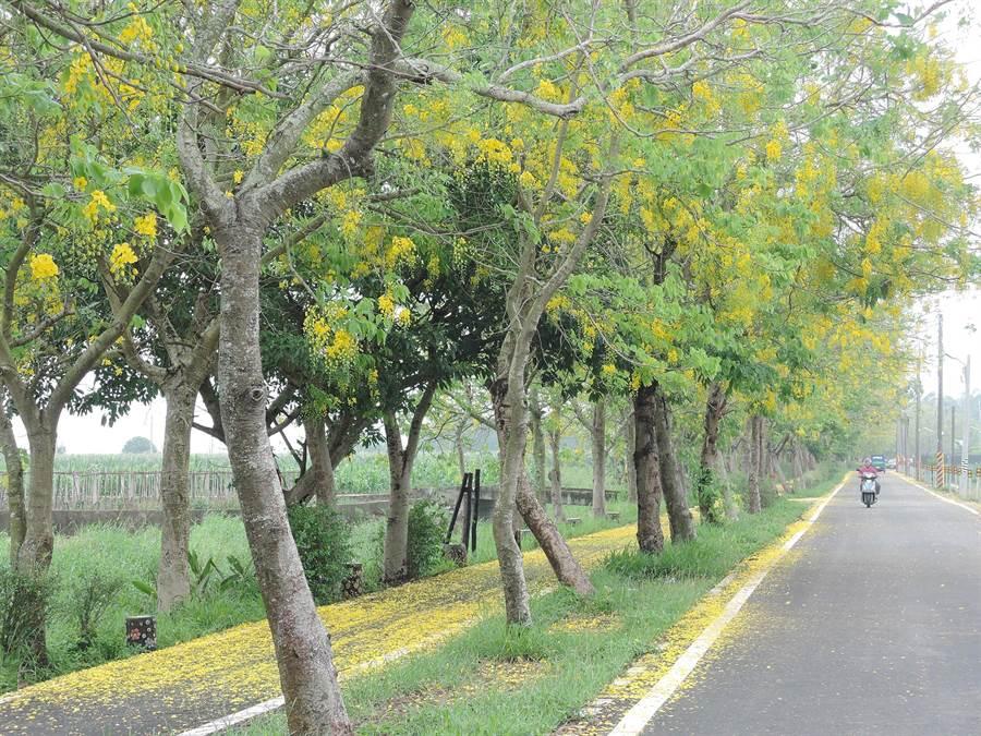 嘉義縣六腳鄉朴子溪自行車道一段長約450公尺的阿勃勒,近日悄然綻放。(張毓翎攝)