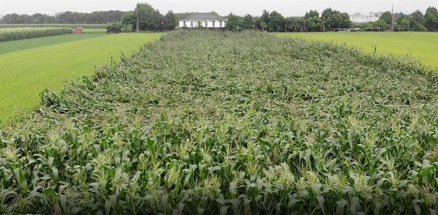 雲林縣虎尾地區玉米受損率達30%以上,已達農業天然災害現金救助門檻。(張朝欣攝)