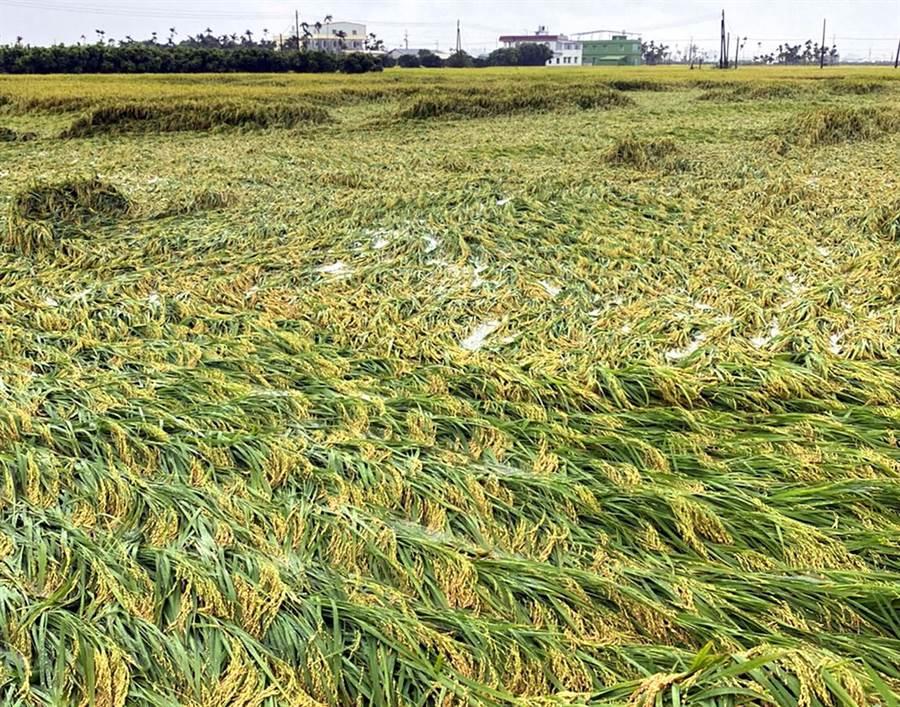 受豪雨影響,屏東縣農作災損至23日下午4時止,共計被害總面積302.3公頃,損失金額893萬4000元,其中一期稻作倒伏受災最重。(潘建志攝)