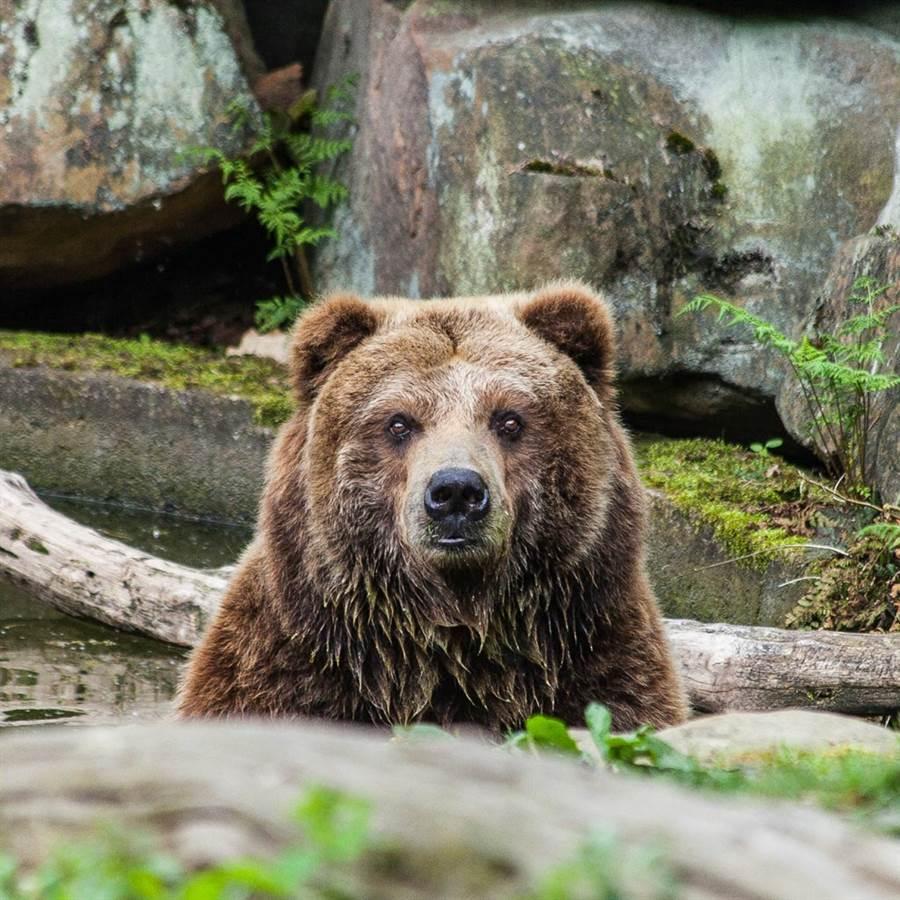 醉漢闖動物園落水 母熊救人反遭鎖喉壓頭30秒險死(示意圖/達志影像)