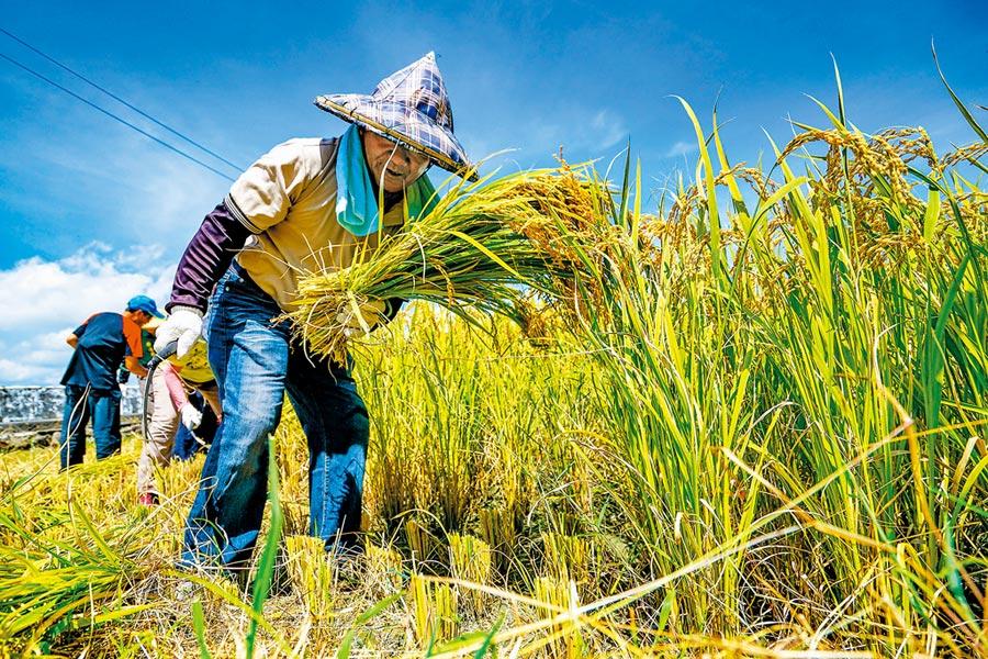 民進黨為掌握農會系統,跳開選舉鎖定修正《農會法》,明訂全國農會1/3理監事可改官派。圖為宜蘭農民辛苦農作。(本報資料照片)