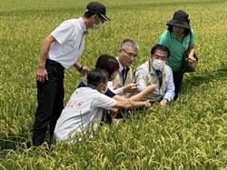 台南一期稻作下月起收割 黃偉哲現勘稻熱病防治狀況