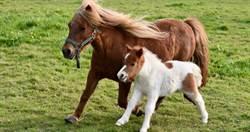 男對3匹小隻馬「壞壞」 !  警方逮人驚見綑綁後腿性侵