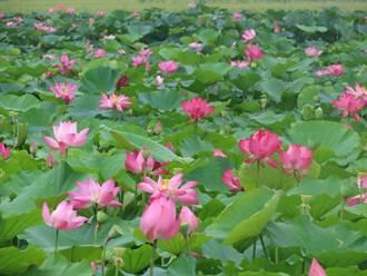 台南白河蓮花季登場 活動持續到8月底