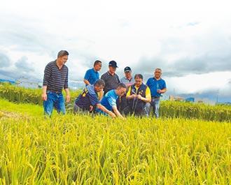 台東縱谷寒害 稻作大多空包彈