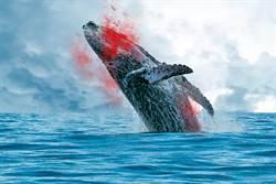 猛鯊與食人鱷罕見合作 狠咬巨鯨