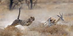 揭密野生動物的暴力法則 一窺殘忍的進食瞬間