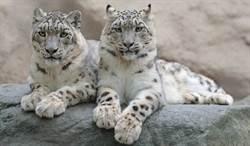哈薩克封城期間 郊外出現稀有的雪豹
