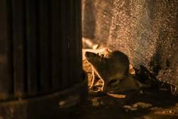 疫情讓老鼠餓瘋 覓食越來越具攻擊性