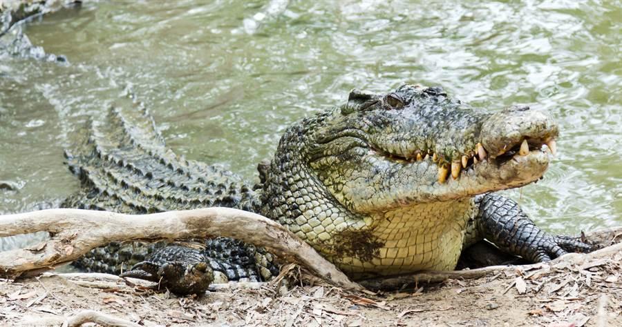 鹹水鱷因為有攻擊人和襲擊船隻的記錄,又被稱為「食人鱷」。(圖/達志影像)