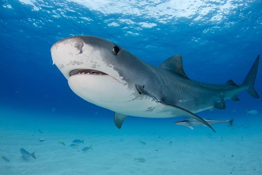 鼬鯊又稱虎鯊被認為是「最危險的鯊魚之一」,一旦攻擊則致死性最強。(圖/達志影像)