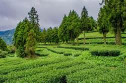 福壽山春茶減產2成多 品質仍相當優良