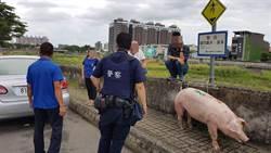馬路乍見迷路豬亂竄 警協助找回「豬隊友」
