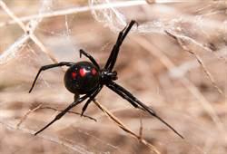 被咬能變蜘蛛人?他們狂戳黑寡婦下場慘了…