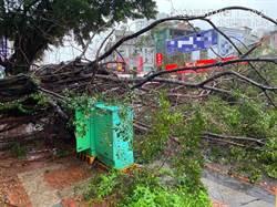 因應大雨、颱風 中市展開行道樹防災性減災修剪