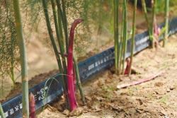 青農種紫蘆筍 四季都有生產