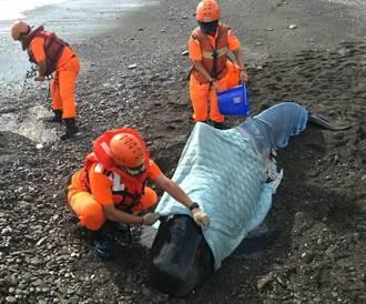 領航鯨擱淺屏東沙灘 海巡搶救仍回天乏術