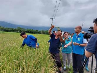 花蓮3鄉鎮水稻出現「空包彈」壽豐鄉減產8成