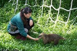 壽山動物園迎嬌客 長鼻浣熊首亮相