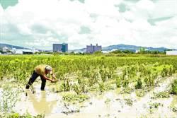 芝麻田「泡湯」產量少一半 恆春有機農卻更無奈這件事
