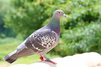 巴基斯坦「鴿子」被疑當間諜 慘遭印度逮捕